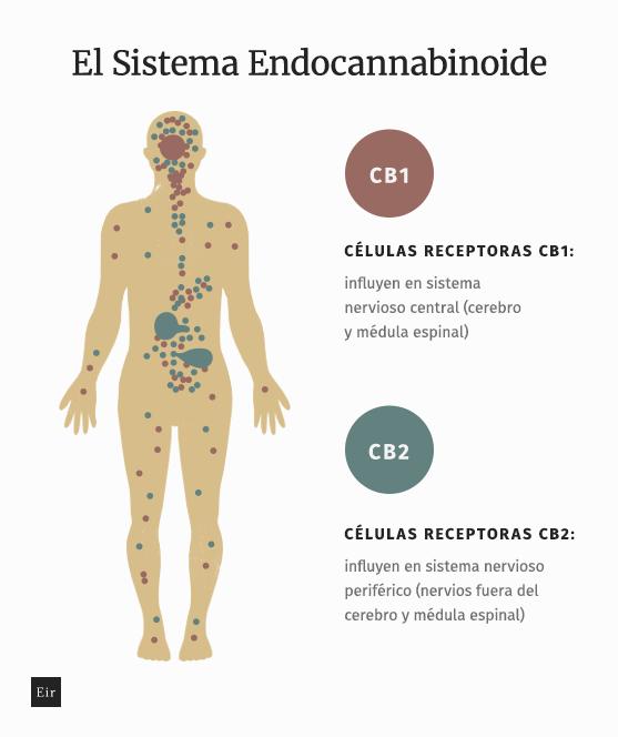 El sistema endocannabinoide: receptores endocannabinoides CB1, CB2