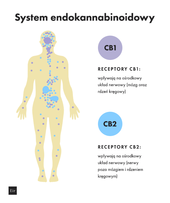 System endokannabinoidowy - receptory CB1 i CB2