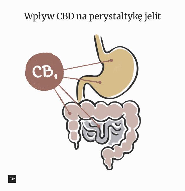 Wpływ CBD na perystaltykę jelit